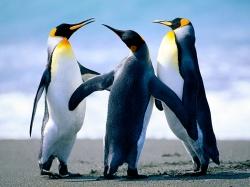 pingüinos celebrando la llegada del invierno