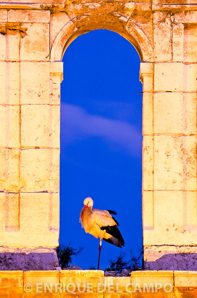 White stork roosting