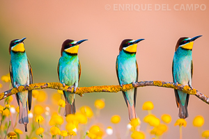 Quartet of bee-eaters
